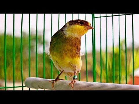 Download Lagu Suara Burung Kenari Ngerol Panjang Juara full isian untuk masteran durasi panjang