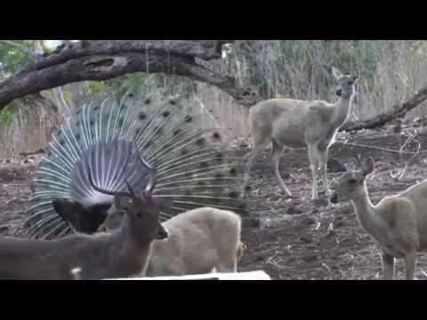 Javan Rusa and Green peafowl dance combination