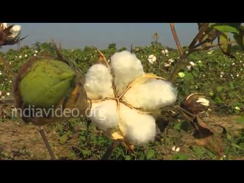 Cotton Farming, Bhuj