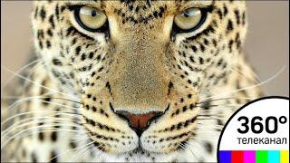 Нижегородец выгуливал леопарда на детской площадке. Видео