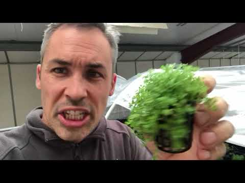 Hemianthus cuba,  Hemianthus callitrichoides (Baby Tears), HC, these are my 3 tips for growing it.