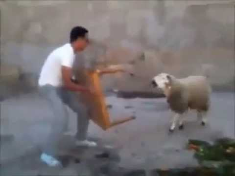 HOW TO TRAIN YOUR SHEEP