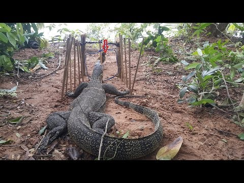 Creative Man Make Primitive Komodo Dragon Trap Using Spanish Windlass Trap To Catch And Attack With