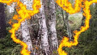 Поиск грибов подосиновиков в брусничном лесу в начале сентября. Атаки лосиных вшей