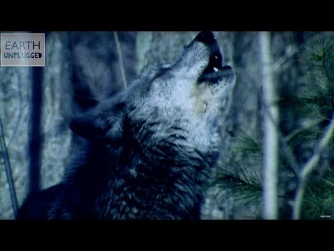 Why Do Wolves Howl at the Moon? - Zoo La La (Ep 36) - Earth Unplugged