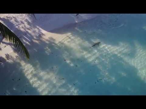 Maldives Killer Shark attack drone footage