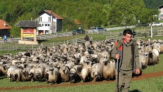 Draganovih 500 ovaca stiglo na Vlašić