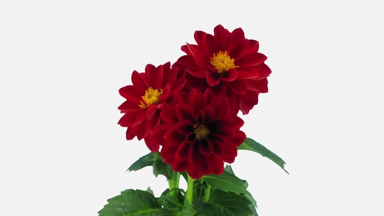 Opening Red Dahlia Flower Stock Video Youtube