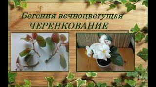 Бегония вечноцветущая - размножение черенками