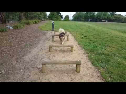 Heisenberg Finnish Lapphund Dog showcasing some agility