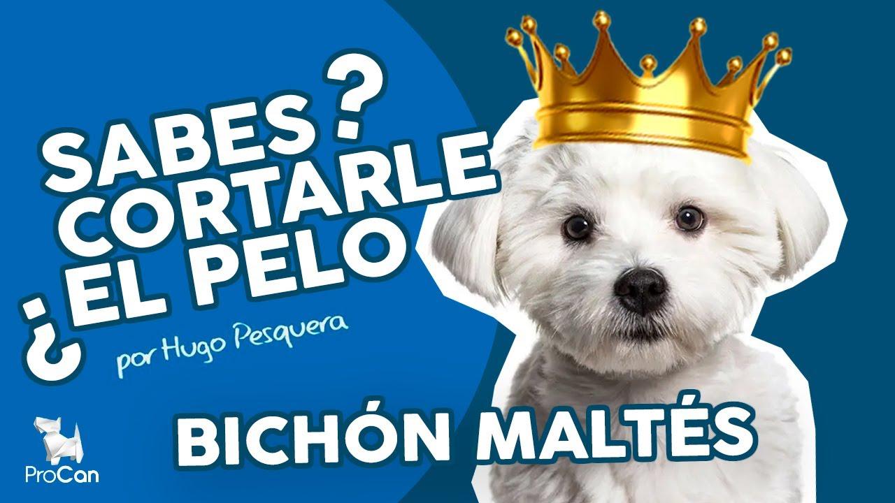 Bichon Maltes Peluqueria Canina Técnica De Tijera Guiada Por Peine Dog Grooming