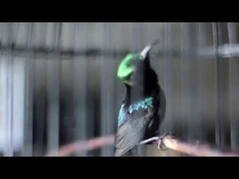 SUARA BURUNG : Kolibri Ninja Gacor Mau Juara Nasional
