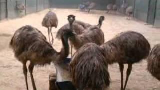 R&D EMU Farms Eating Feed