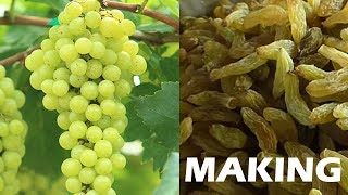 #Raisins production process | Dry Grapes Making Process
