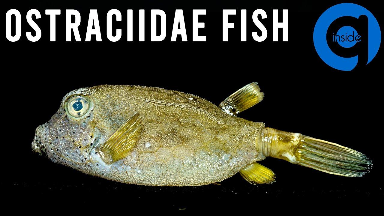 Sea Fish Time Lapse (Ostraciidae Fish)