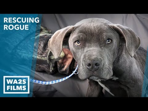 We Went to Rescue This Skinny Gorgeous Puppy and Couldn't Believe Our Eyes {:-0 Ep 22 Rescuing Rogue