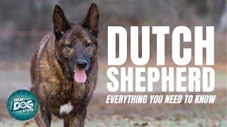 Dutch Shepherd Dog Breed Guide | Dogs 101  Dutch Shepherd