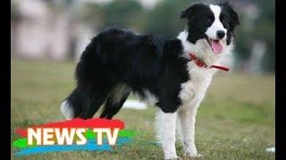 Top 10 loài chó thông minh nhất thế giới