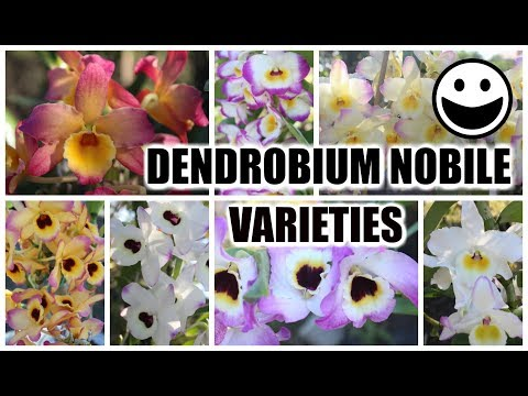 Dendrobium Nobile Varieties & ID - SO MANY OF THEM!