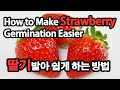 딸기 발아 쉽게하는 방법이렇게 해보세요an easy way to germinate strawberries
