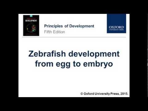 Zebrafish Development From Egg To Embryo