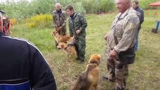 Выводка охотничьих собак в Борском РООиР 2018г Русские и пегие гончие