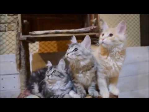 Котята курильского бобтейла (3,5 месяца)