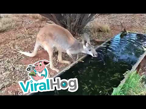 Thirsty Kangaroo Drinks a Lot of Water || ViralHog