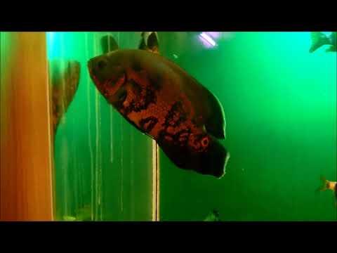 Астронотусы в общем аквариуме.
