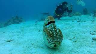 Palau Chambered Nautilus