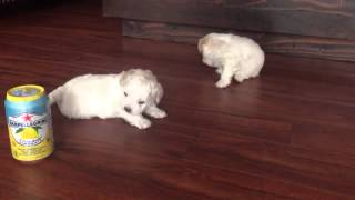 Toy Maltipoo Puppies!
