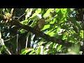 Accipiter superciliosus   Tiny Hawk