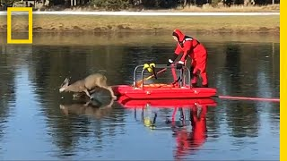Firefighter Saves Deer Stranded on Slippery Ice | National Geographic