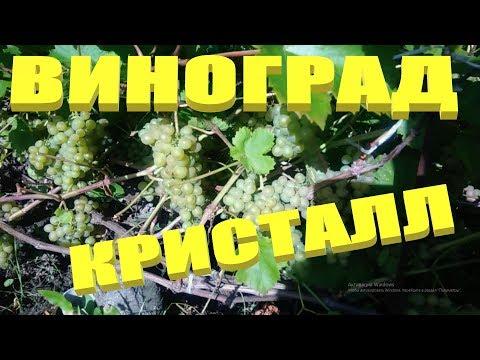 Виноград.Ранний технический сорт винограда Кристалл