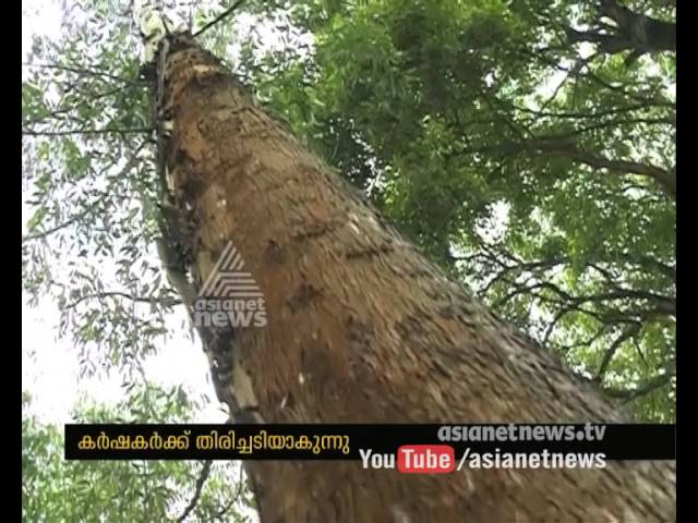 Restriction for cutting trees in Idukki Anchunadu becoming a mess for farmers