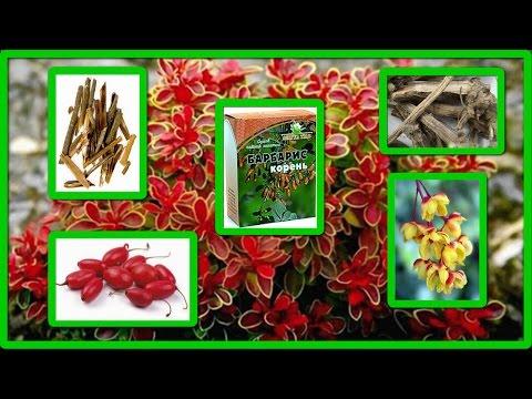 Барбарис ягоды Барбарис полезные свойства, применение