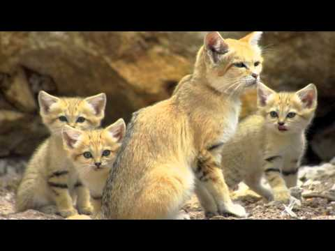 Endangered Species- The Sand Cat