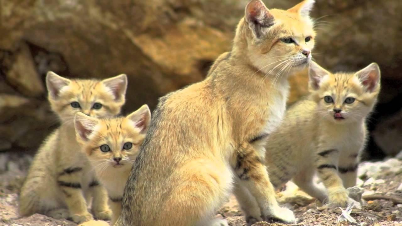 Pantera Animal Wallpaper Endangered Species The Sand Cat Youtube