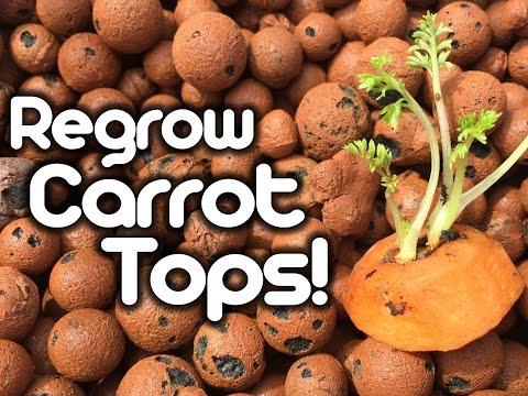 Regrow Carrot Tops!