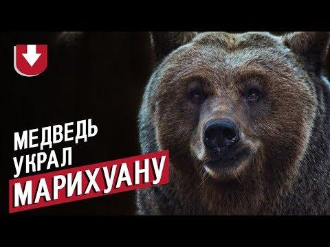 Медведь и марихуана ролик домашнее выращивание конопли