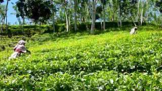 Sri Lanka,ශ්රී ලංකා,Ceylon,Tea Plucking