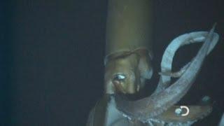 Giant Squid: Amazing deep-sea footage reveals giant squid in natural habitat