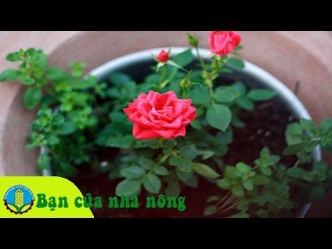 Kỹ thuật trồng và chăm sóc hoa hồng tại nhà mới nhất