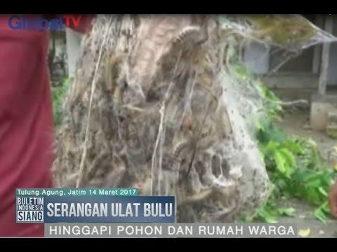 Warga Tulung Agung Diserang Ulat Bulu yang Hinggapi Pohon & Rumah - BIS 15/03