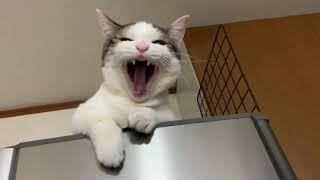 子猫のときから人に頼る豆大福がかわいい Cute cat that have relied on his owners since he was  kitten