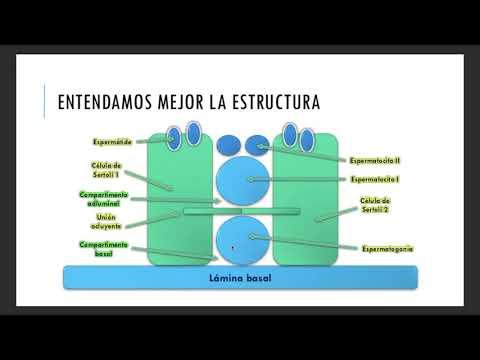 Histología del aparato reproductor masculino