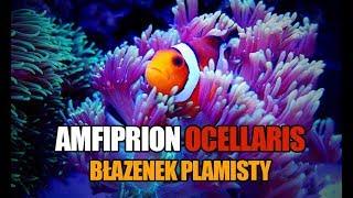 (68) Błazenek, Ampfiprion ocellaris - Opis gatunku - Akwarium morskie - Reef aquarium