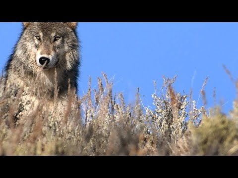 Why 1995 Was a Big Year for Grey Wolves in Yellowstone