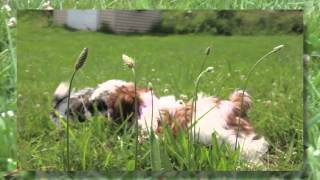 Shih Tzu Puppies | Chewie-callie-sissy