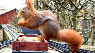 Nahaufnahme: Rotes Eichhörnchen knackt Walnüsse auf unserer Spur G LGB Gartenbahn